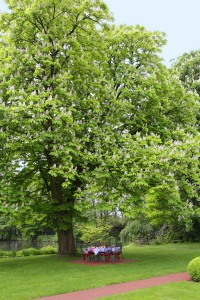 Kastanie der Biergartenbaum