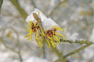 Zaubernussblüte - flower of hamamelis