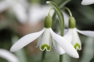 Galanthus nivalis, das Schneeglöckchen