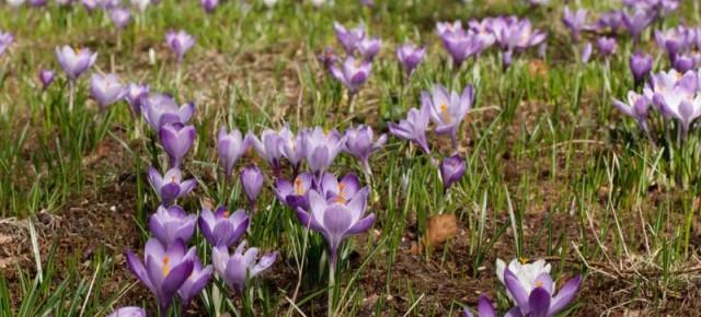 Krokusse - Boten des Frühlings