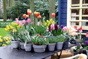 Tulpen in Töpfen