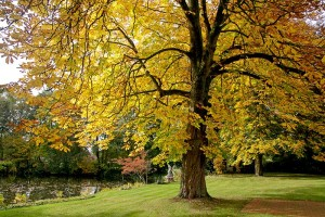 Kastanie - Rosskastanie im Herbstkleid