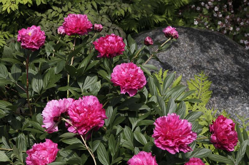Pfingstrosen paeonia gartenplanung und for Pfingstrosen pflanzen