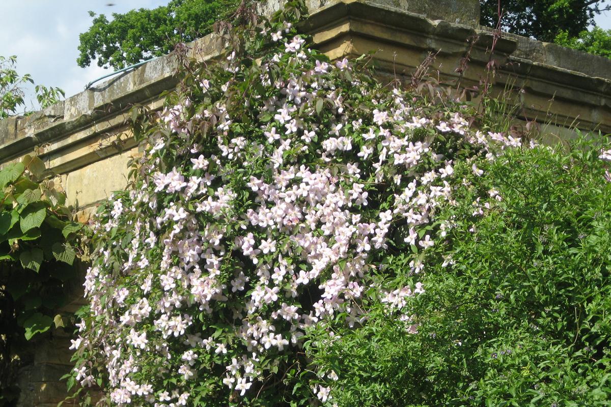 Schnell erobert und ziert die rosablühende Waldrebe altehrwürdiges Gemäuer